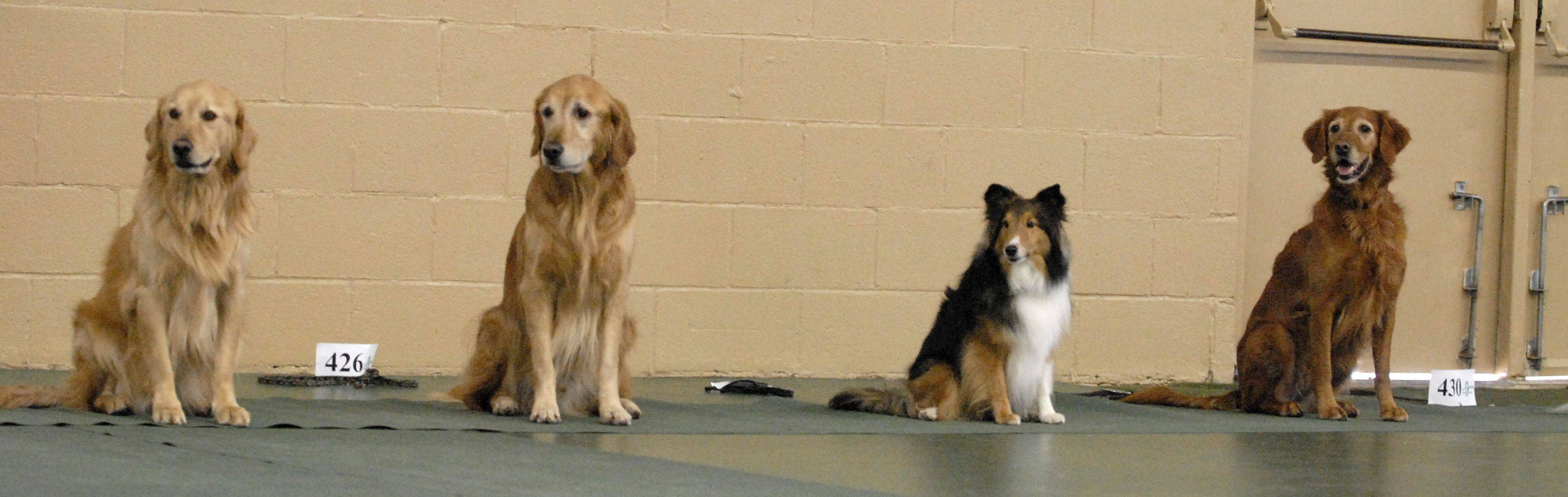 Pups line up and wait in their seated position for their owners' command during the rally competition at the Fox Valley Training Club's annual Obedience Club Sunday. The dogs were left to wait for their owners without coming out of their seated position until their owners came back. Nearly 178 different breeds participated in the Obedience Club's event with mostly purebred dogs.