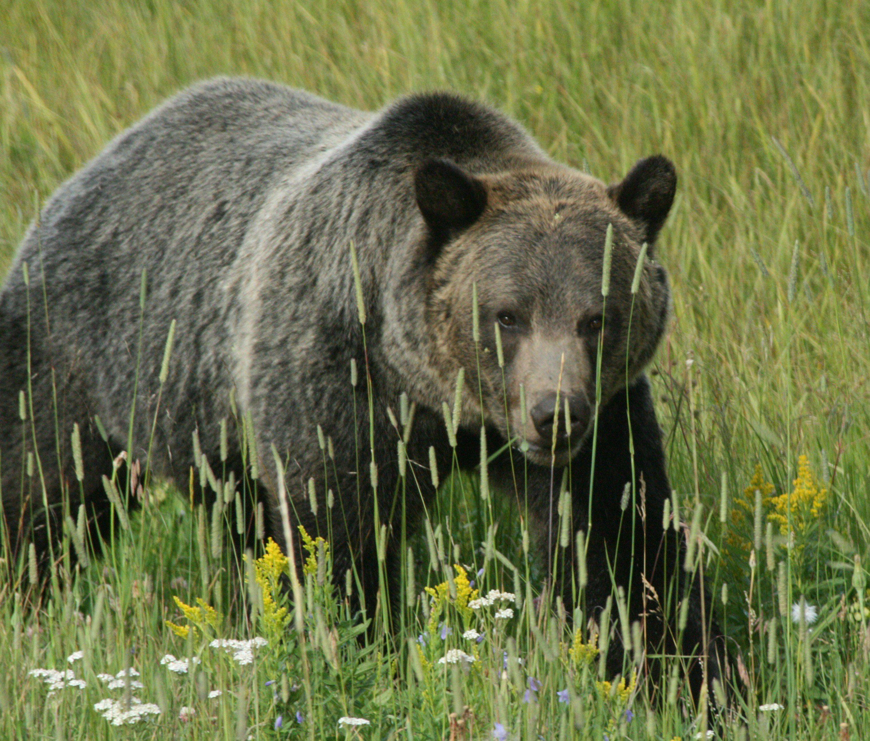 A grizzly bear moves through the brush in the Lamar Valley of Yellowstone National Park this past August.
