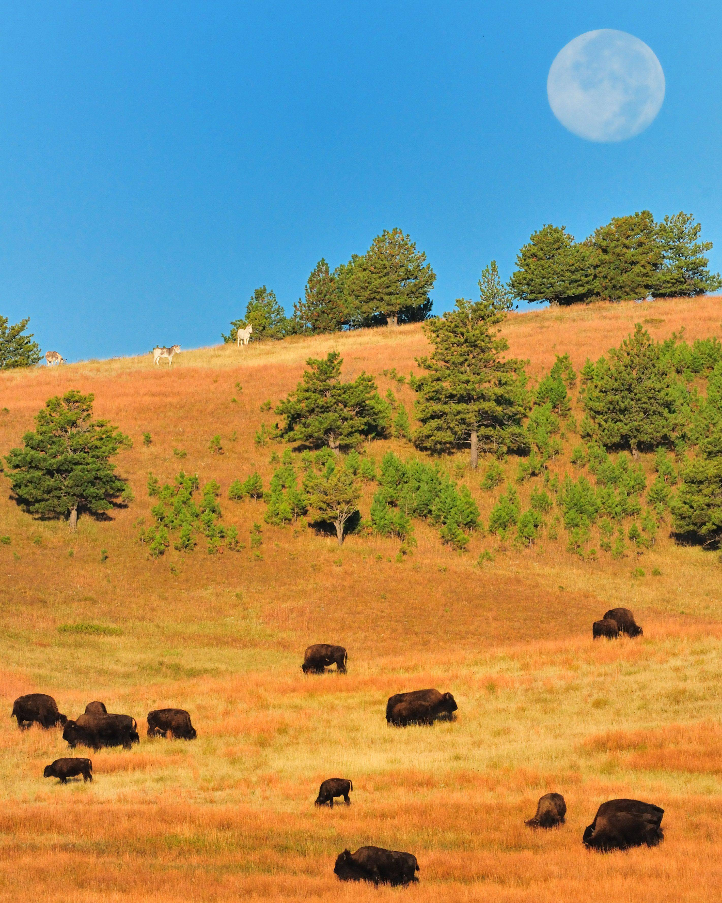 The full moon sets over a herd of bison in Custer State Park in South Dakota in September as three wild donkeys graze on the hillside.