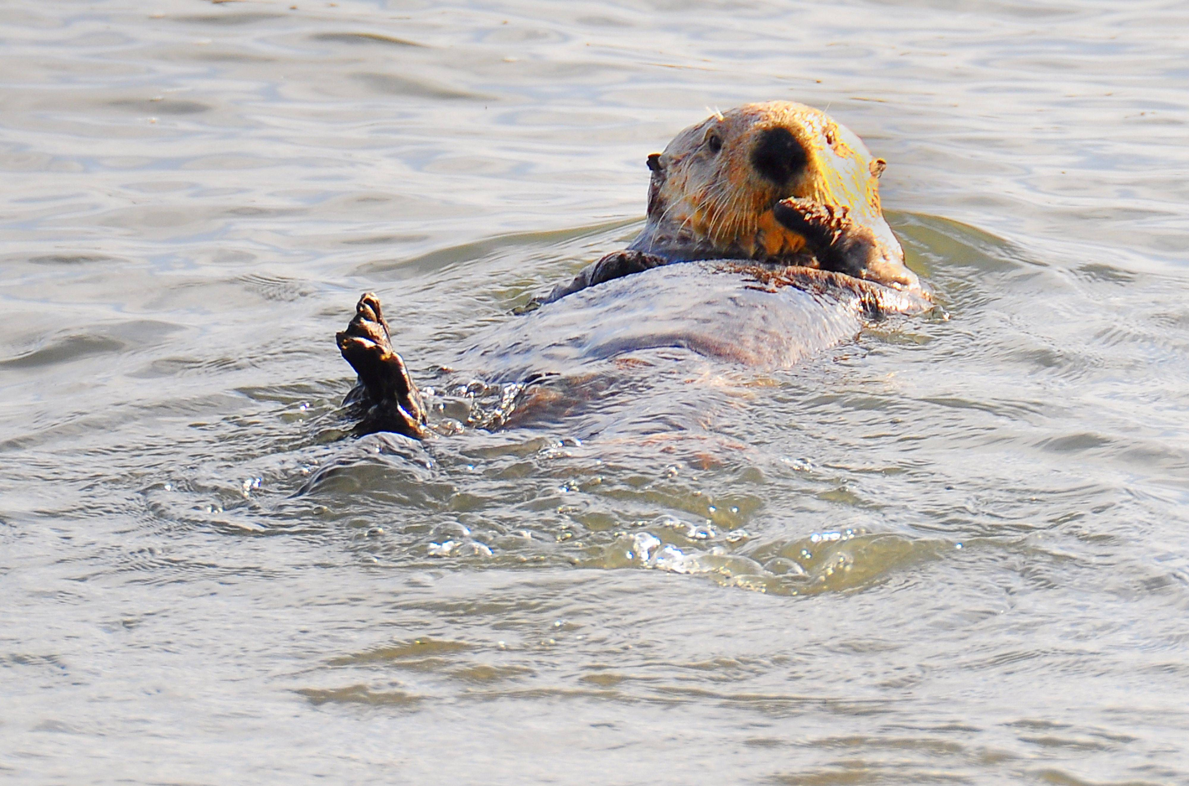 Early morning sun strikes a sea otter just before he dives for breakfast at Moss Landing, CA this past summer.