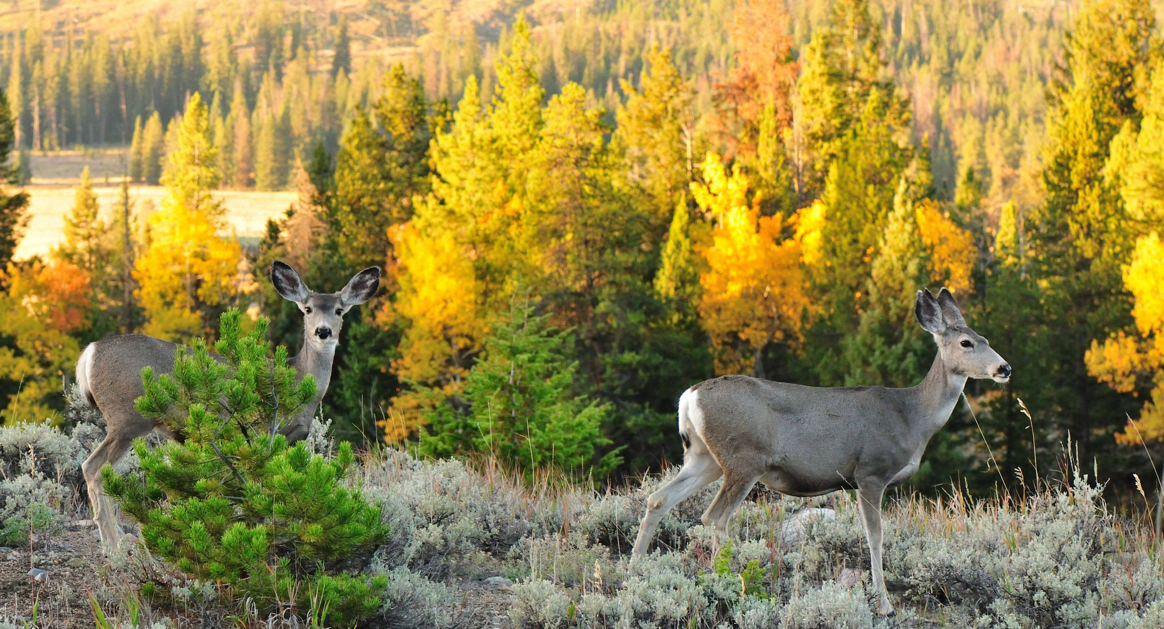 Two mule deer walk through the brush near the northeast entrance of Yellowstone National Park in September.
