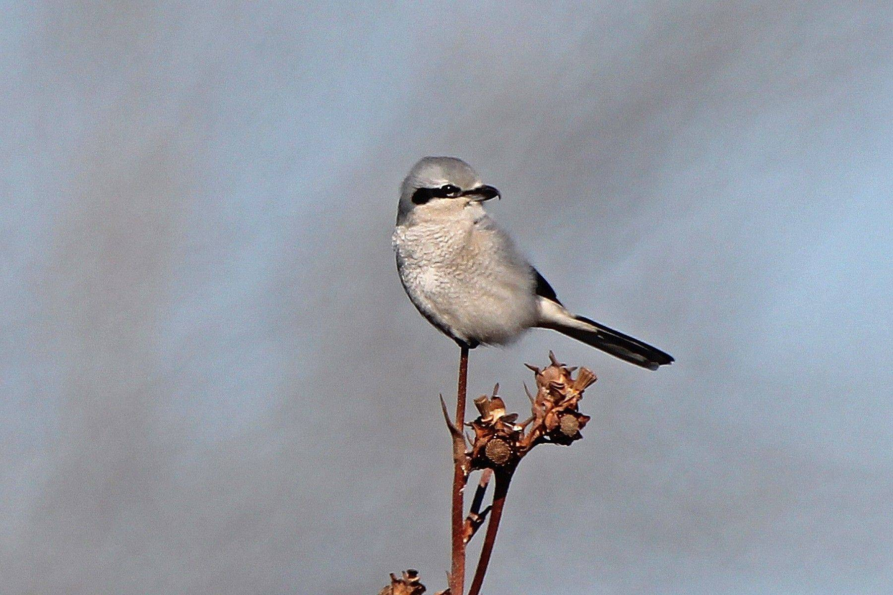 Northern shrike is a winter visitor to this area and always a great find. The species prefers wide open spaces.