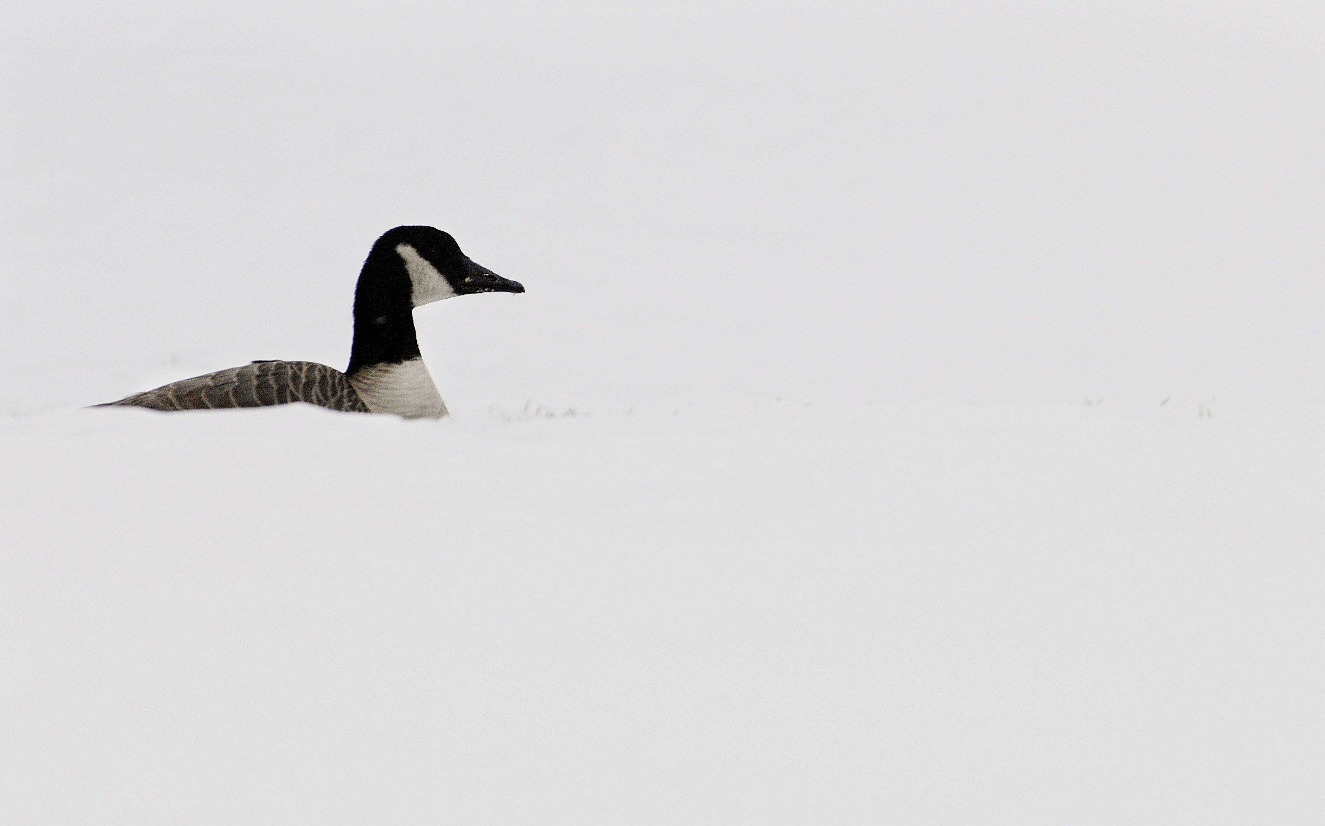 A lone Canada goose the only thing of any color as it sits among a sea of snow at Melas Park in Mt. Prospect.