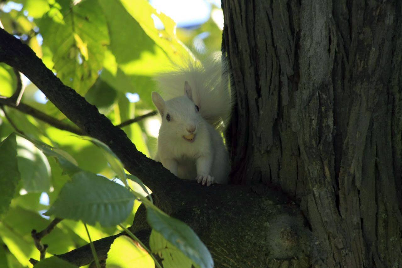 While sitting on my deck enjoying a beautiful fall afternoon, I noticed this Albino Squirrel feasting on the abundance of acorns from the oak trees in the yard.