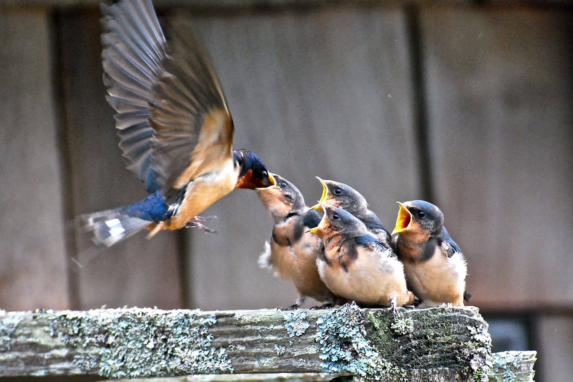 This picture was taken outside our lodge on the Washington coast this past September. These young barn swallows could fly, but were fed by mom and dad while they stayed in flight.