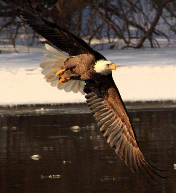 I took this shot along the Fox River in East Dundee between Main Street and Route 72. There were a number of eagles flying on Sunday and this one was just making a turn and lining up the fish it was going to catch. You can see the concentration in its eye. It did have fish for lunch.