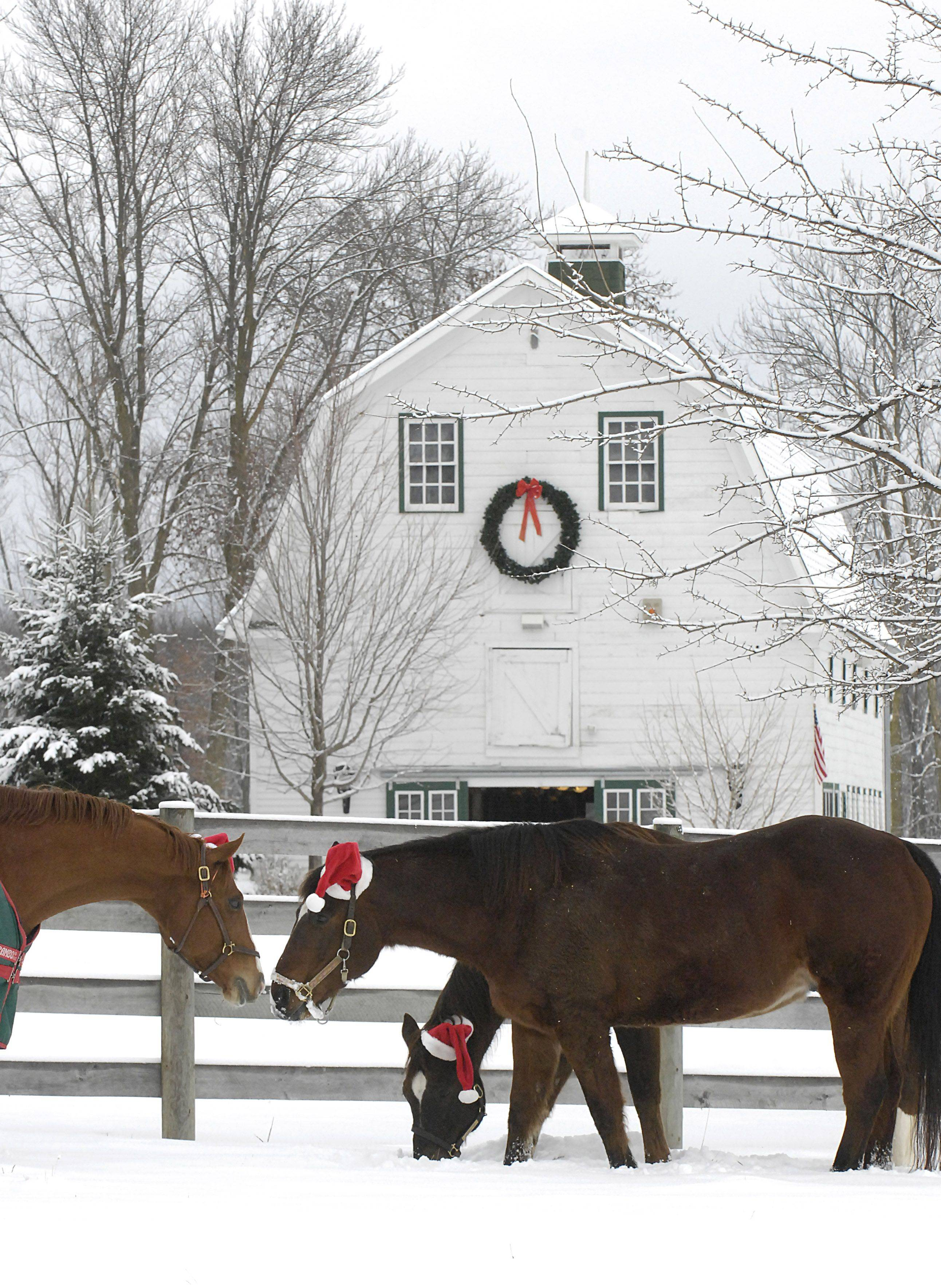 Horses donning Santa hats greet each other in a pasture at Canterfield Farm in West Dundee on Christmas Day. Horse owner Dennis Nastali of Sleepy Hollow said the hat idea began six years ago.