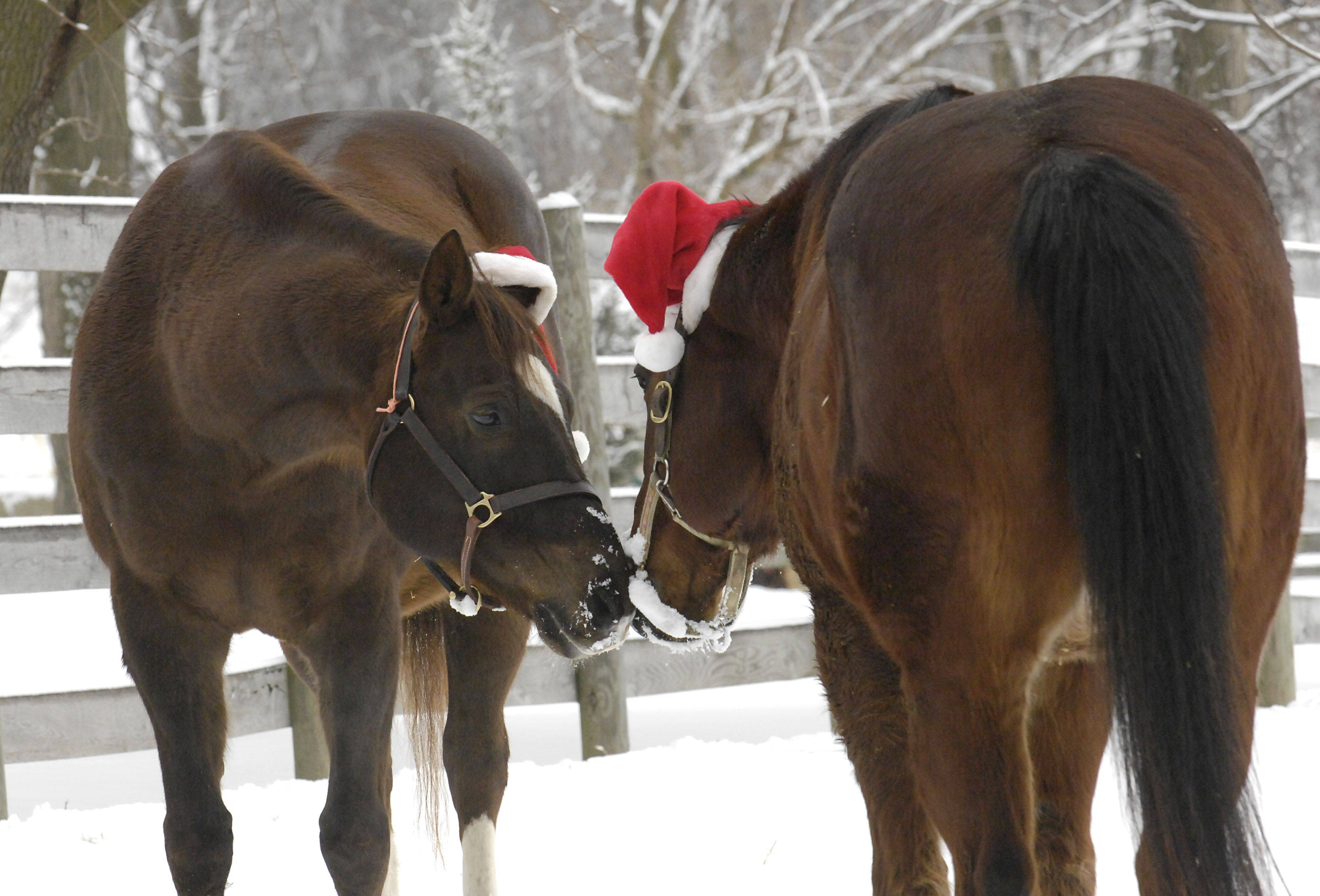 Shortstop, a 14-year-old American appendix quarterhorse-thoroughbred mix, finds a pal also wearing a Santa hat at Canterfield Farm in West Dundee on Christmas Day.
