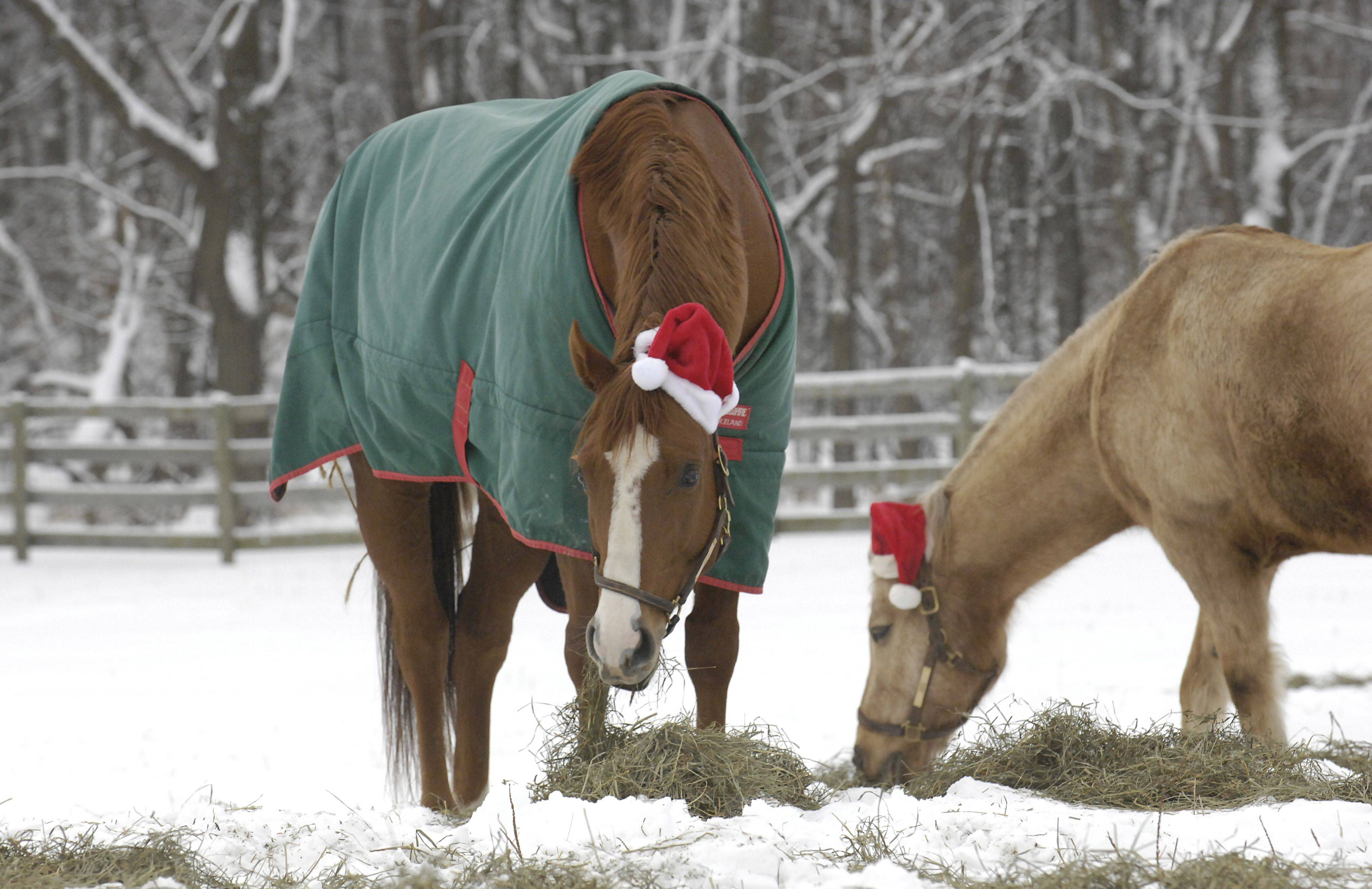 Lobizon and Doc munch on hay while wearing their Santa hats Saturday at Canterfield Farm in West Dundee on Christmas Day. The farm's horses started wearing the hats on Christmas Day six years ago.