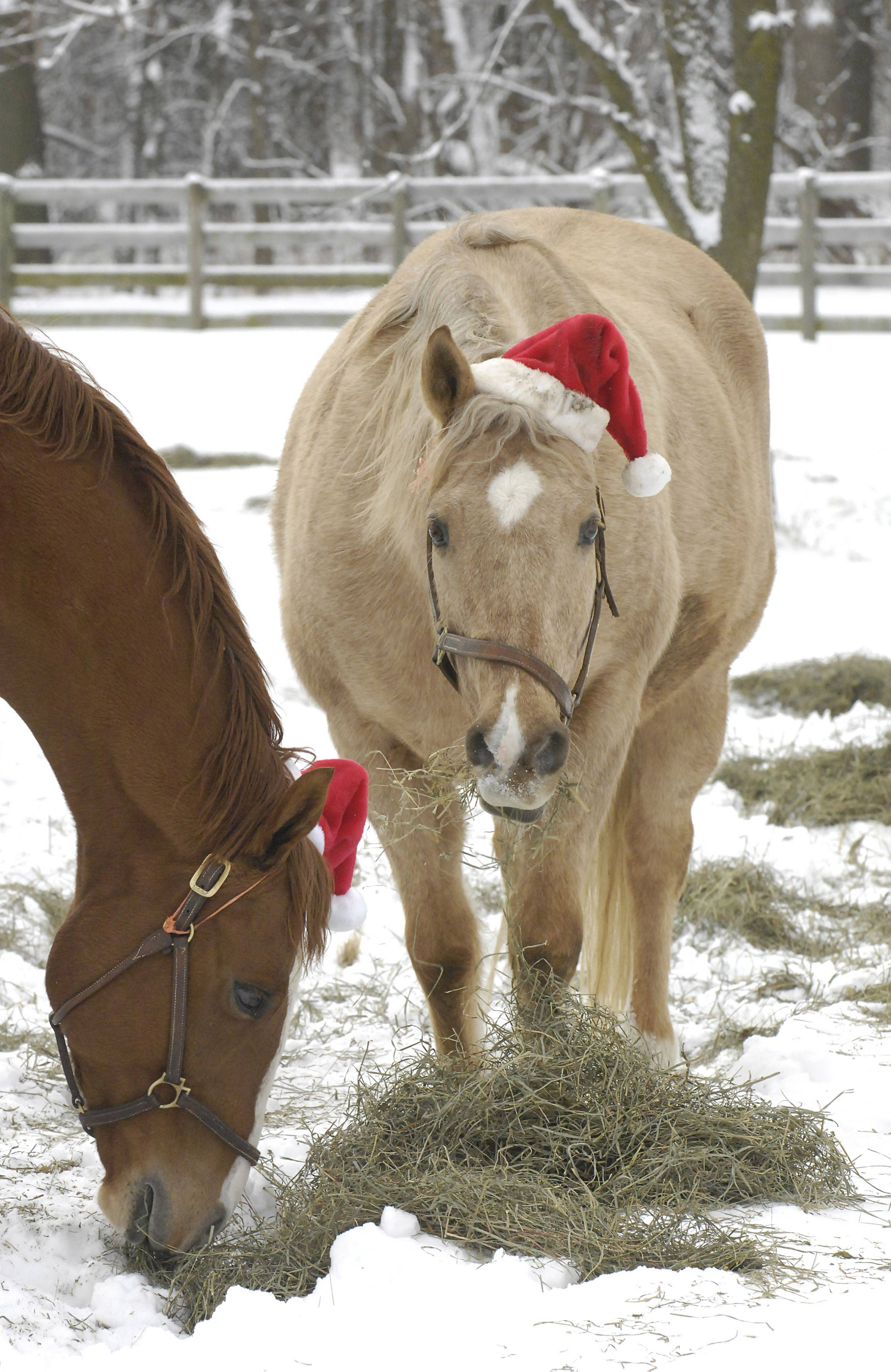 Horses named Lobizon and Doc munch on hay while wearing their Santa hats in a pasture at Canterfield Farm in West Dundee on Christmas Day. Seven horses boarded at the private barn were in a pasture closest to Route 31 and given hay close to the fence where drivers could see them. What started as a fun idea to see if they horses would keep the hats on has now turned into a six-year tradition, says one owner, Dennis Nastali of Sleepy Hollow.