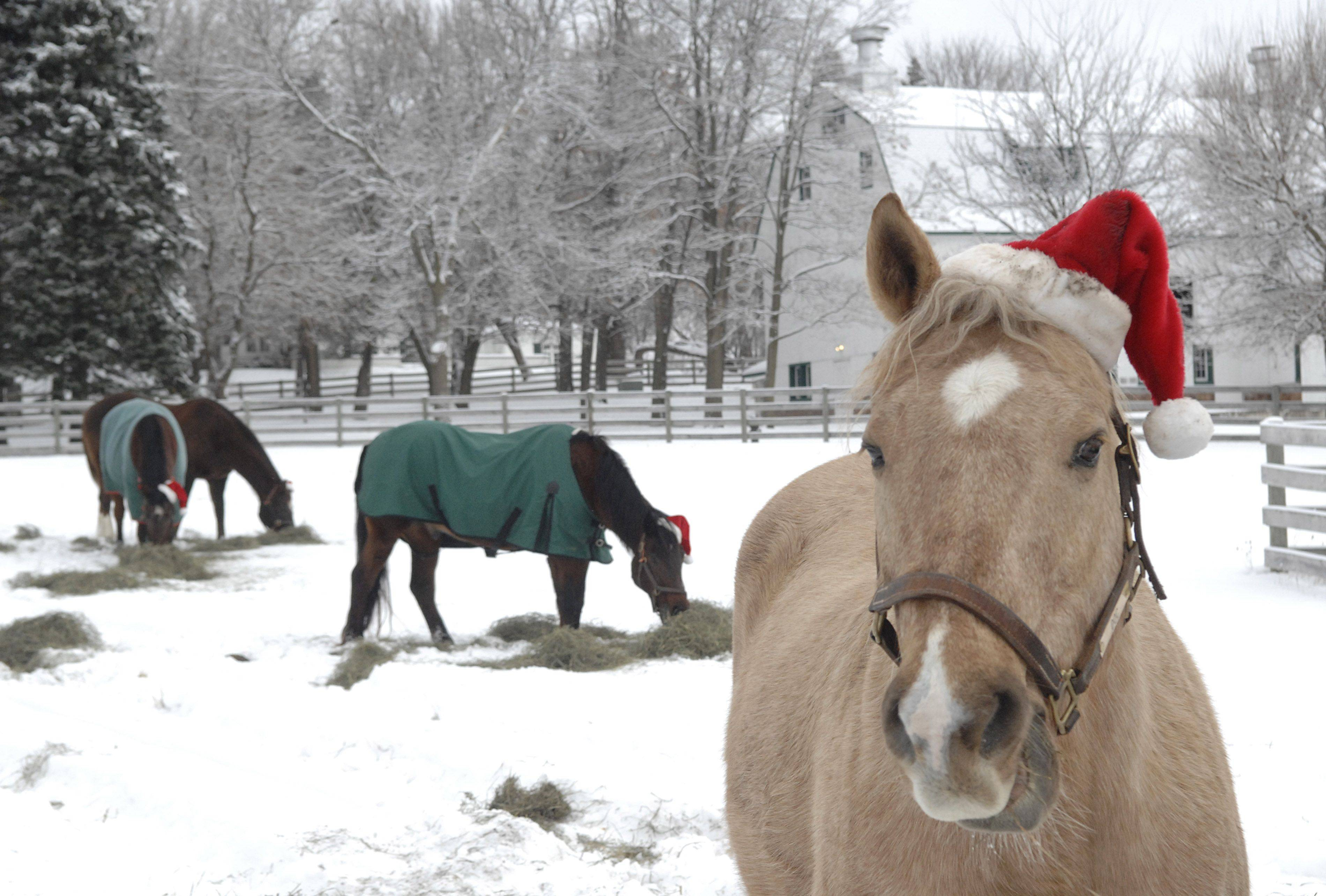 A palomino named Doc shows off his Santa hat while pasture mates munch on hay at Canterfield Farm in West Dundee on Saturday. The horses' hats have become a Christmas Day tradition.