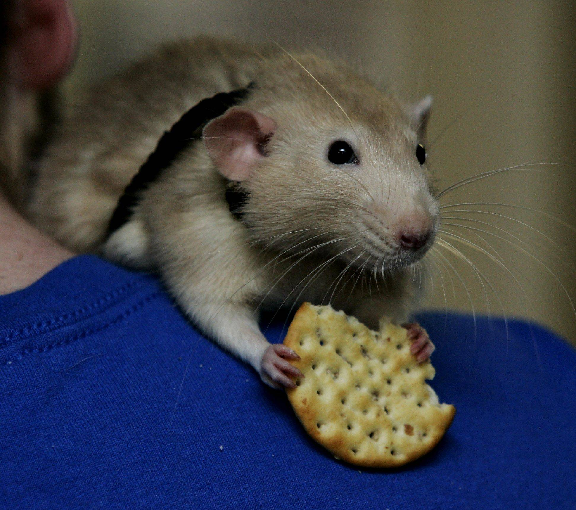 Sandy, a dumbo rat, nibbles on a cracker given as a gift by a Manor Care resident during a visit by Libertyville's Animal Education and Rescue in Libertyville on Christmas day.