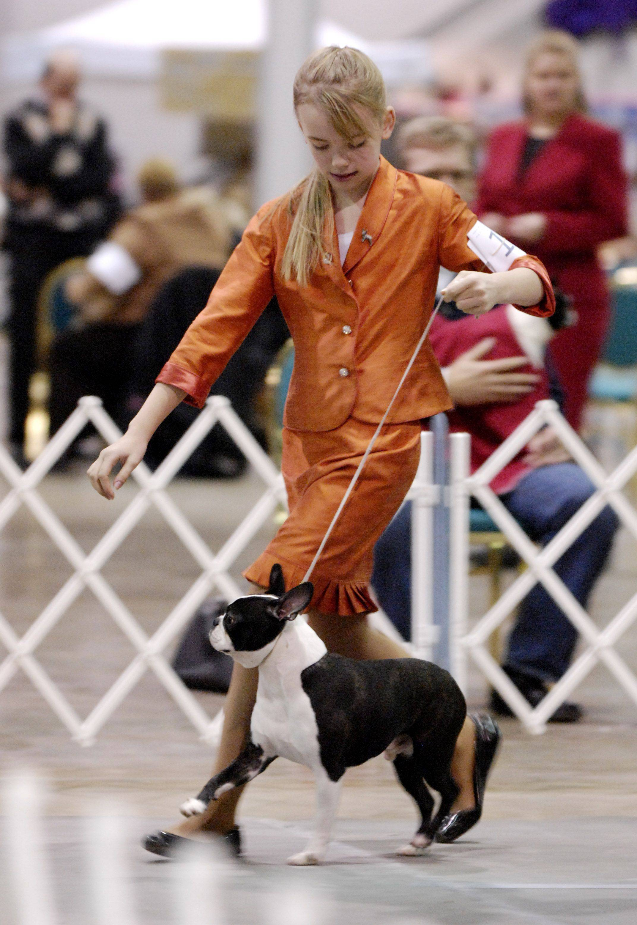Marie Stahmer, 12 of Harvard works her Boston terrier Mojo during the Skokie Valley Kennel Club dog show at the Donald E. Stephens Convention Center in Rosemont. The twelve-year-old was competing in the adult or conformation class as well as the junior class. Stahmer and her dog received a Select Dog award at the Rosemont show.