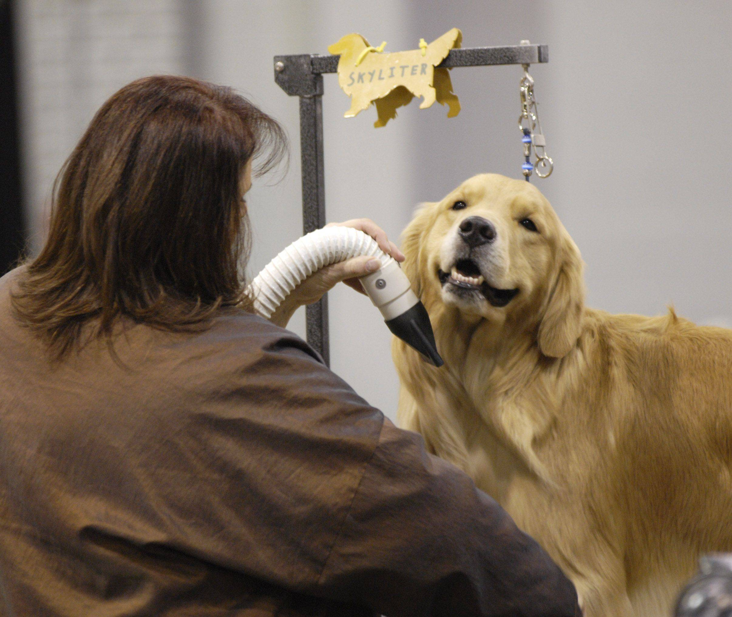 Laurie Cantone of Round Lake grooms her golden retriever Brooklyn during the Skokie Valley Kennel Club dog show at the Donald E. Stephens Convention Center in Rosemont.