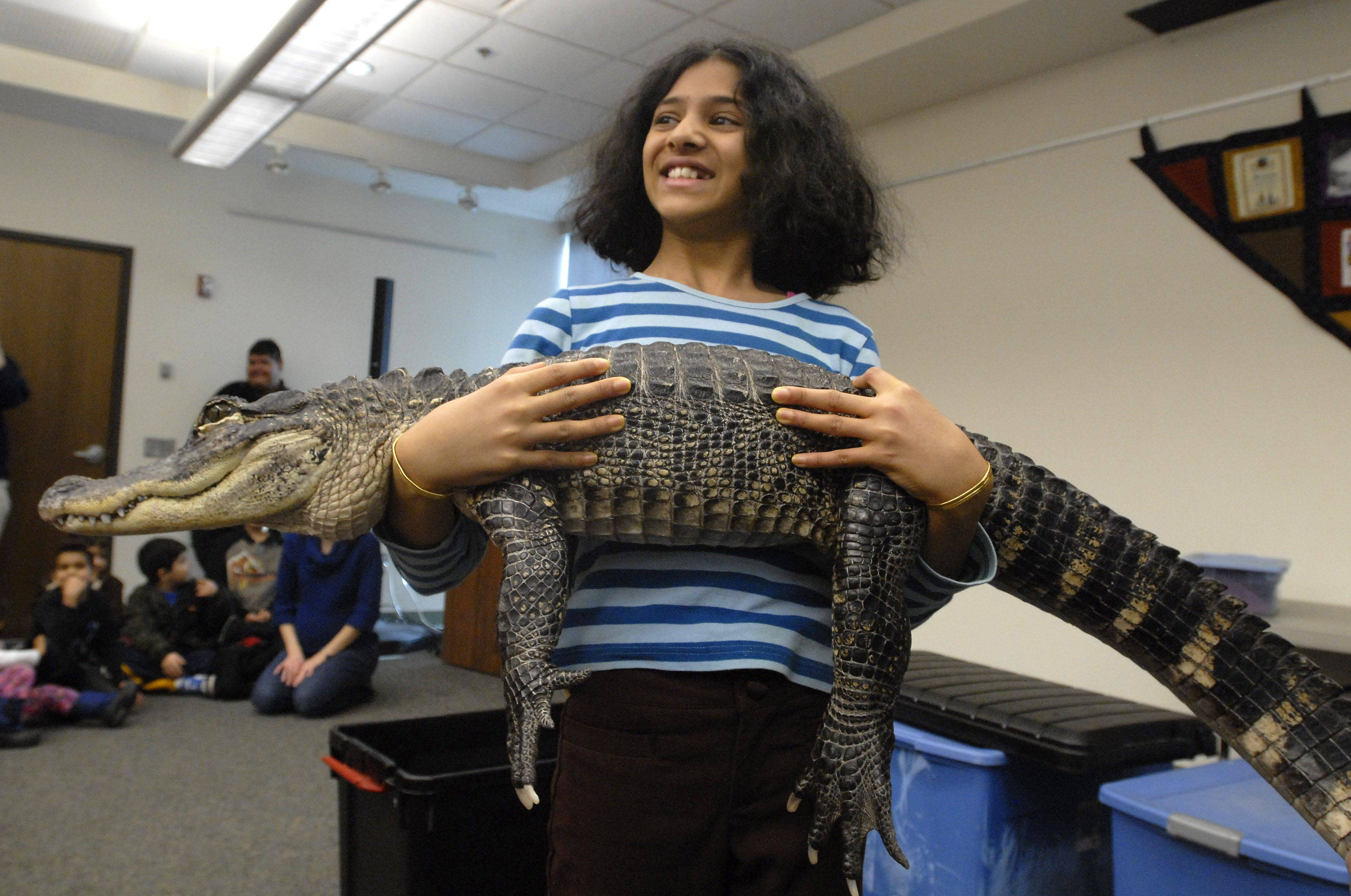 Shreya Sriram, 10, of Buffalo Grove enjoys holding Lucky the American alligator Wednesday at Indian Trails Public Library in Wheeling.