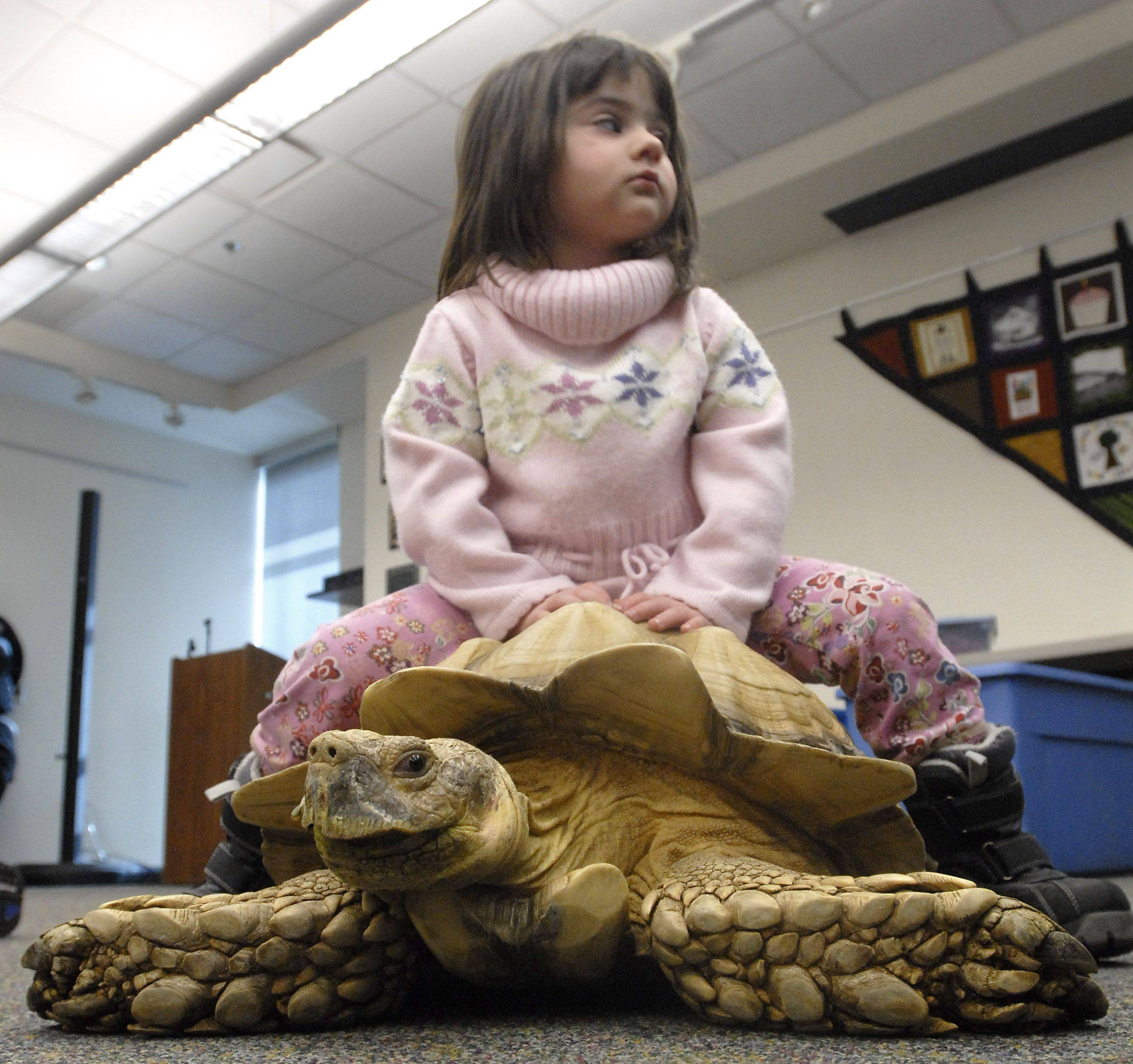 Amanda Logan sits atop an African spurred tortoise during a reptile presentation Wednesday at Indian Trails Public Library in Wheeling.