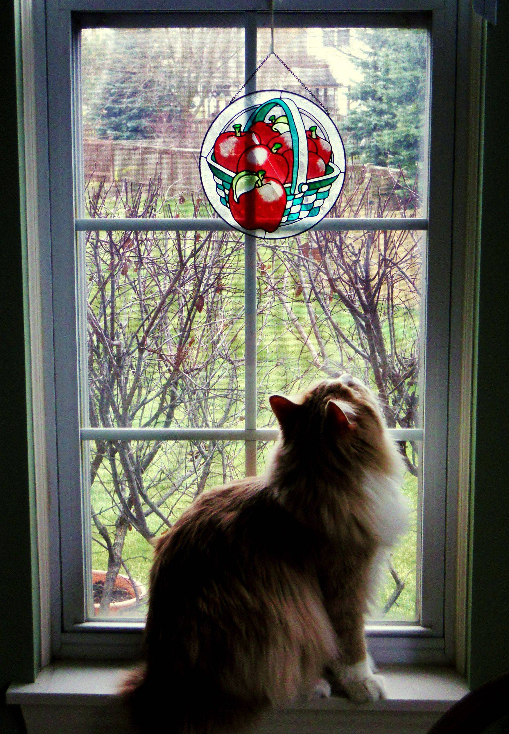 A Siberian cat named Nikita watches a ladybug on the window at a Grayslake home.