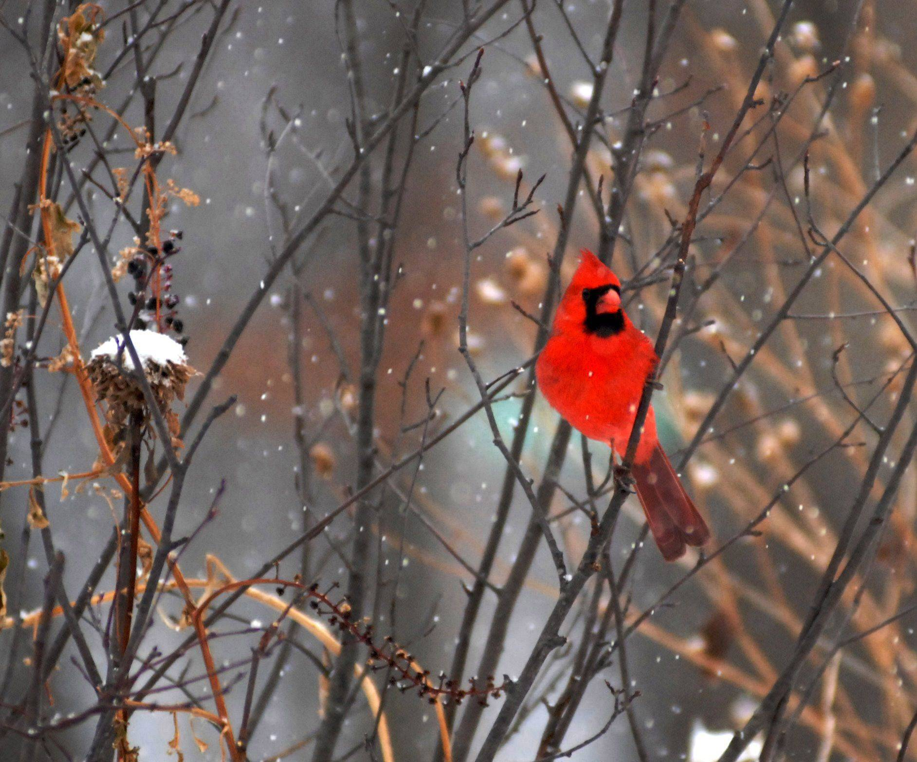 A cardinal rests on a branch as a light snow falls on Christmas Eve at the Nature Center in Wheeling.