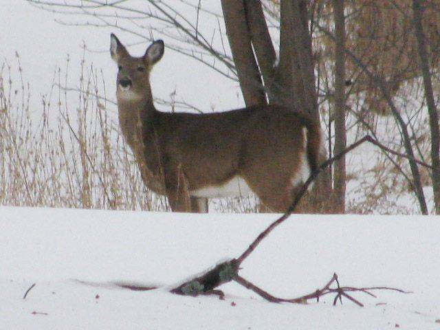 A deer stands in the snow in a back yard of a house in Green Oaks.