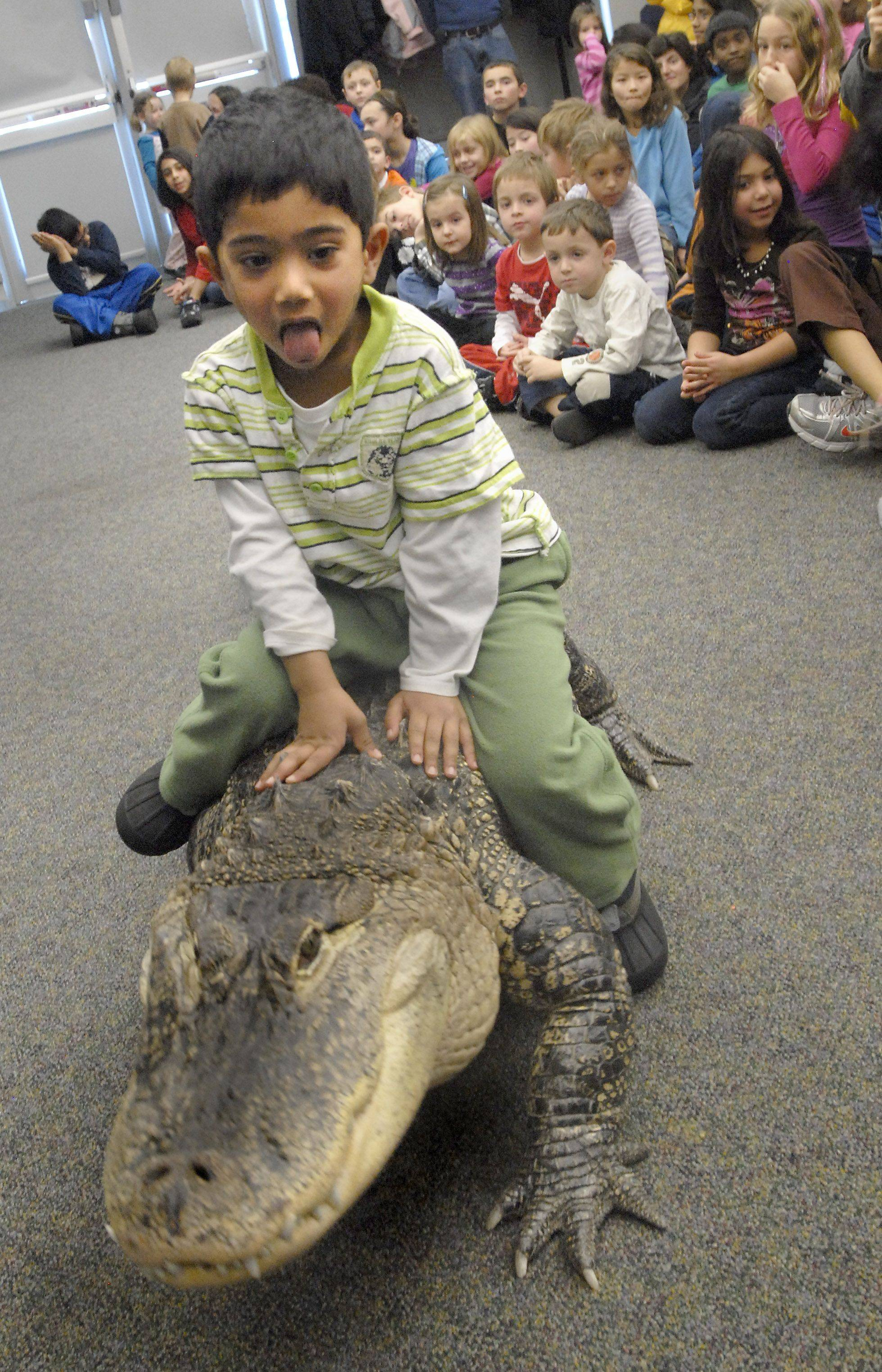 Caleb Samuel, 3, of Arlington Heights takes a ride on an 8-foot-long, 200-pound American alligator Wednesday at Indian Trails Public Library. Bubba has been trained by Jim Nesci of Cold Blooded Creatures.