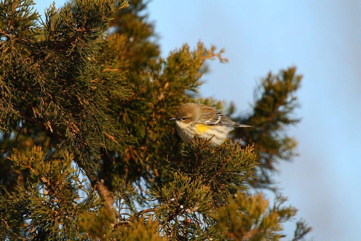 A yellow-rumped warbler in winter is always a nice find. This one appeared at Cantigny Park Dec. 18.