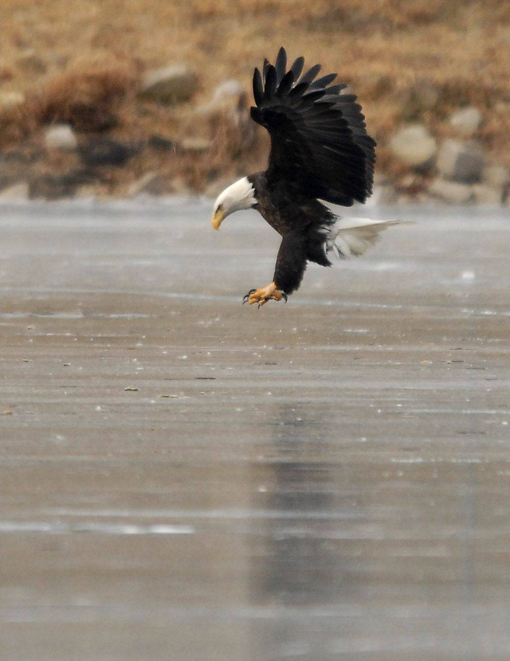 Bald eagles make a stopover in Elgin
