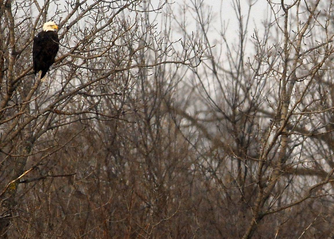A number of bald eagles have been hanging out along the Fox River in Elgin north of the Gail Borden Library.