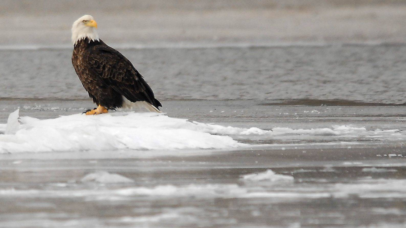 The majestic bald eagles have been seen all along the Fox River in Elgin during recent days.