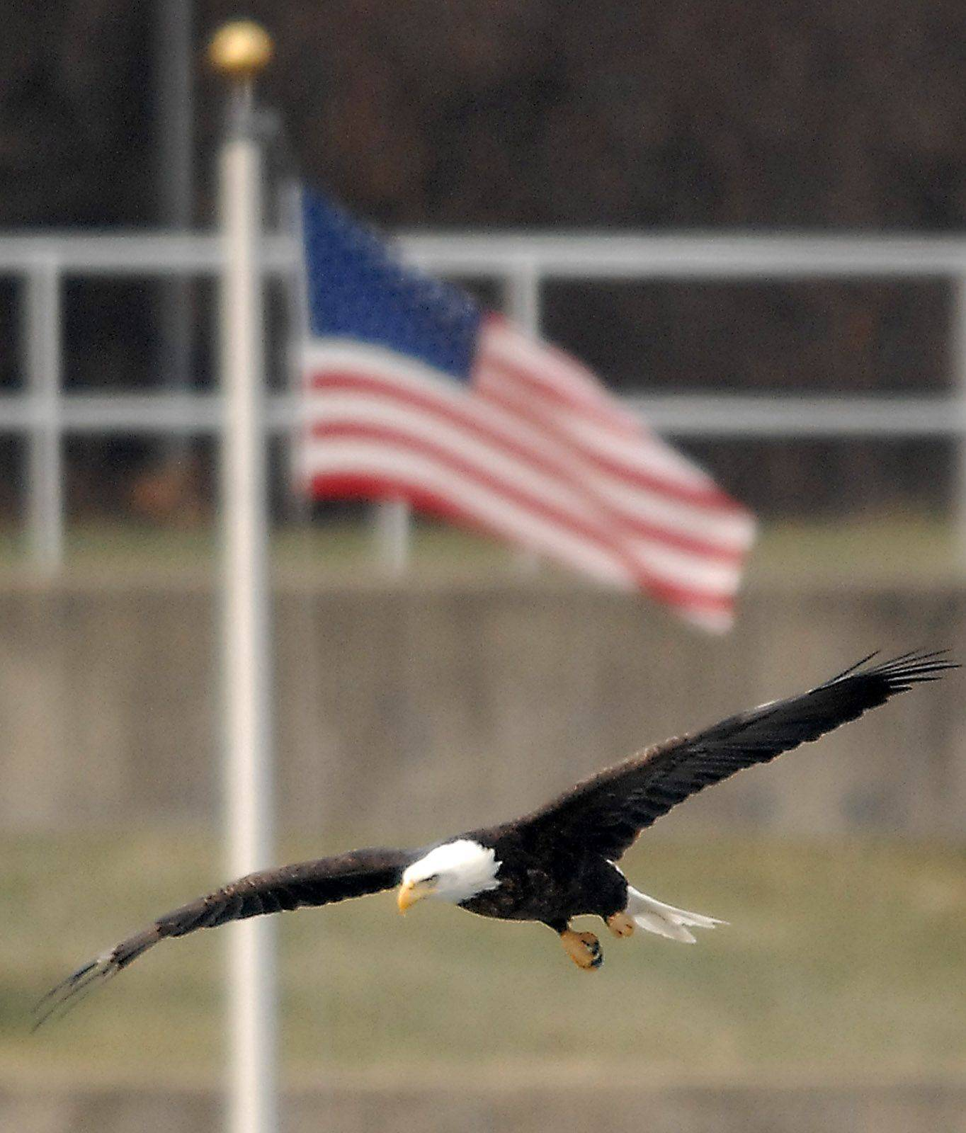 As many as a dozen bald eagles have been hanging out along the Fox River in Elgin north of the Gail Borden Library.