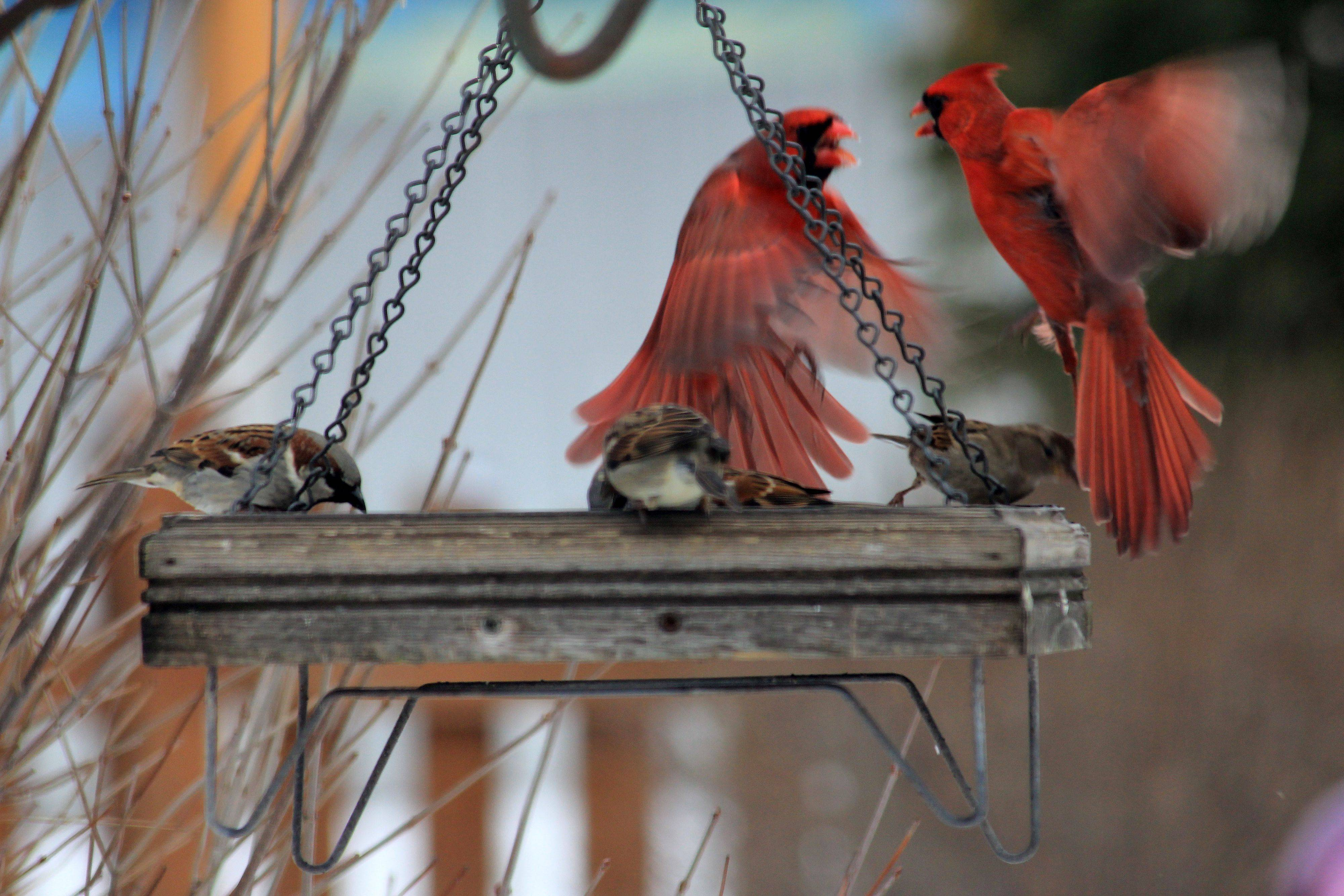 While taking pictures of the birds on the feeder in our back yard, I caught this moment between two male Cardinals that seemed to be having a disagreement at to who's turn it was to be on the feeder.
