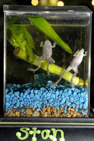 African Dwarf Frog A Good Pet Choice For Kids