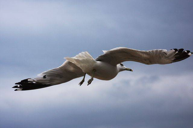 A seagull floats overhead in Mackinaw City last summer.