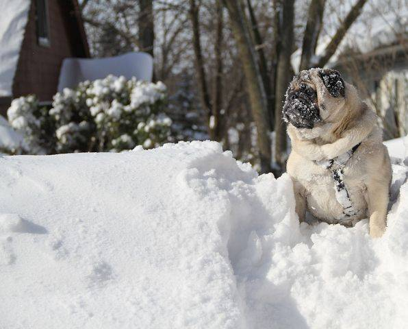 Photo by John KellyMurphy the pug sitting victoriously atop a three-foot snowbank he conquered.
