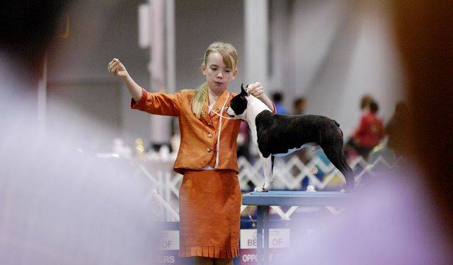 "Marie Stahmer, 12 of Woodstock works her Boston terrier, Mojo, during the Skokie Valley Kennel Club dog show at the Donald E. Stephens Convention Center in Rosemont as George Mahony of Arlington Heights and Marie's mother, Lauren Fisher, watch. Stahmer and her dog received ""Select Dog"" at the Rosemont show, and will compete next week at the Westminster Kennel Club 135th annual dog show."