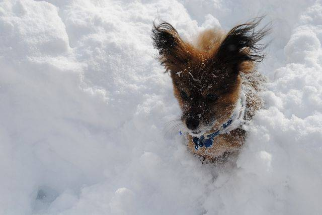 And Bear's legs just aren't quite long enough to get him through the snow.Photo from LilliRose Farnell