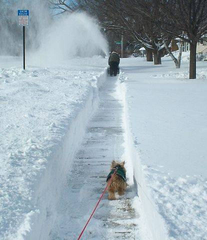 "Sherry Blazier says: How can a 10"" tall dog go for a walk after a 20"" blizzard? Our Yorkie Stevie has it figured out -- just follow the person with the snowblower. Taken along Highland Avenue between Melrose and Clifton, across from Highland School."
