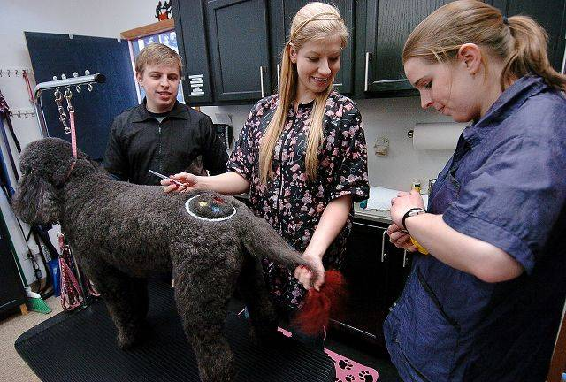 From left, Nick Waters, Elizabeth Martin and Ashley Waters work on Tasha Bailey of Arlington Heights, a Labradoodle who had a Pittsburgh Steelers logo shaved and dyed on her back at Jimminy Clippers, a Palatine dog grooming business.