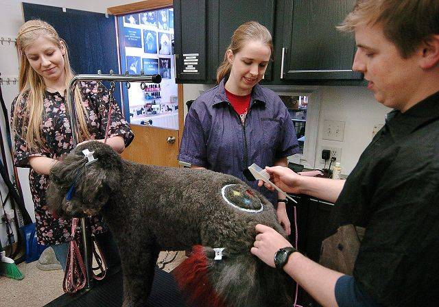 From left, Elizabeth Martin, Ashley Waters and Nick Waters work on Tasha Bailey of Arlington Heights, a Labradoodle who had a Pittsburgh Steelers logo shaved and dyed on her back at Jimminy Clippers, a Palatine dog grooming business.