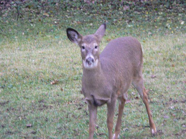 A doe that likes to munch on shrubbery near our house probably was the same one that fell into a window well and became stuck.