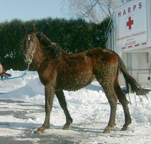 Barrington Hills-based Hooved Animal Rescue Protection Society removed five severely malnourished horses late last month from a dilapidated barn near Elgin. The horses have been brought back to health and soon will be made available for adoption.