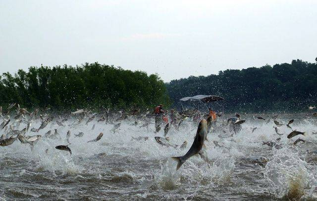 Silver carp, a variety of Asian carp, jump out of the water after being disturbed by sounds of watercraft on the Illinois River.