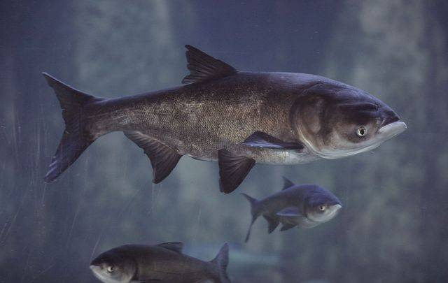 Asian bighead carp, in an exhibit at Chicago's Shedd Aquarium.