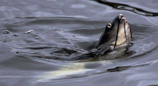ASSOCIATED PRESSA fish breaches the water's surface in the Chicago Sanitary and Ship Canal in Lockport.