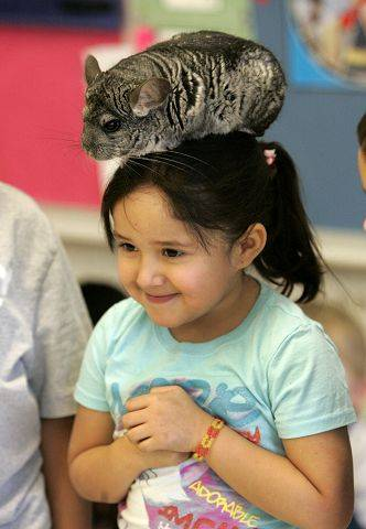 Four-year-old Lizwendy Jimenez lets a chinchilla sit on her head Friday at Fairhaven School in Mundelein.