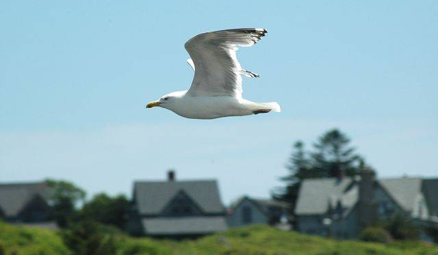 This photo of a seagull in flight was taken on the Rhode Island coast on a vacation.