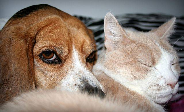 This is evidence that Jackie, my beagle, and Junior, my cat, actually get along.