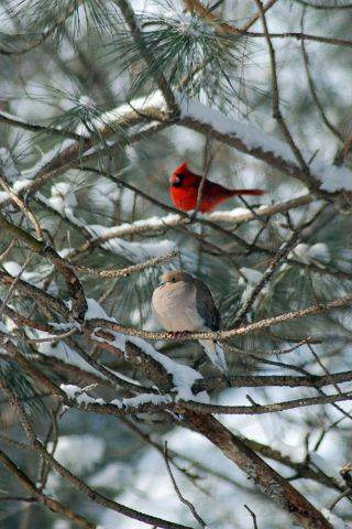 These beautiful birds emerged from wherever they found shelter after the snow fell on February 2nd in a Gurnee back yard during Snowmaggeden 2011.