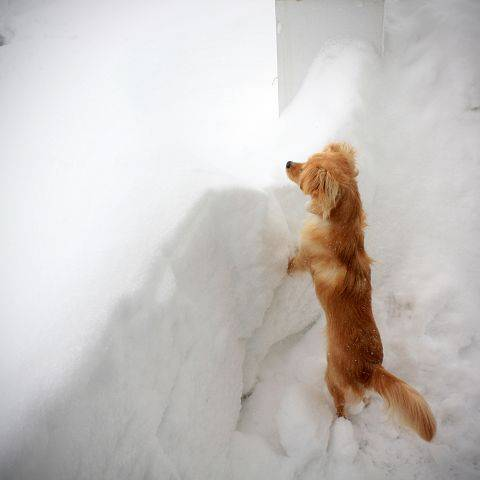 Our dog Remy, doing his best to see over the 2-3 foot snow drifts that surrounded our home after the blizzard.