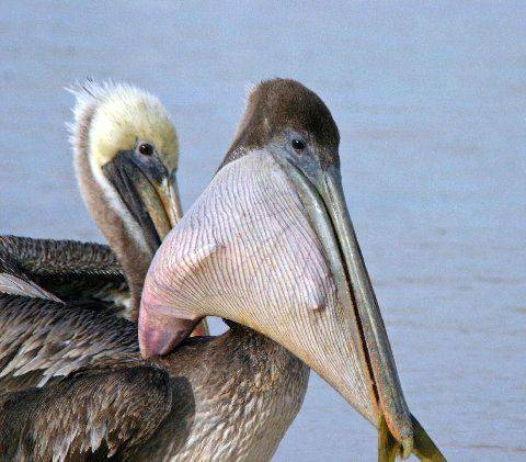 This pelican bit off more than it could chew on a Mexican beach. It stole a fish from a fisherman, swallowed it, then it got stuck. Its pelican pal helped pull the fish out in an hour or so.