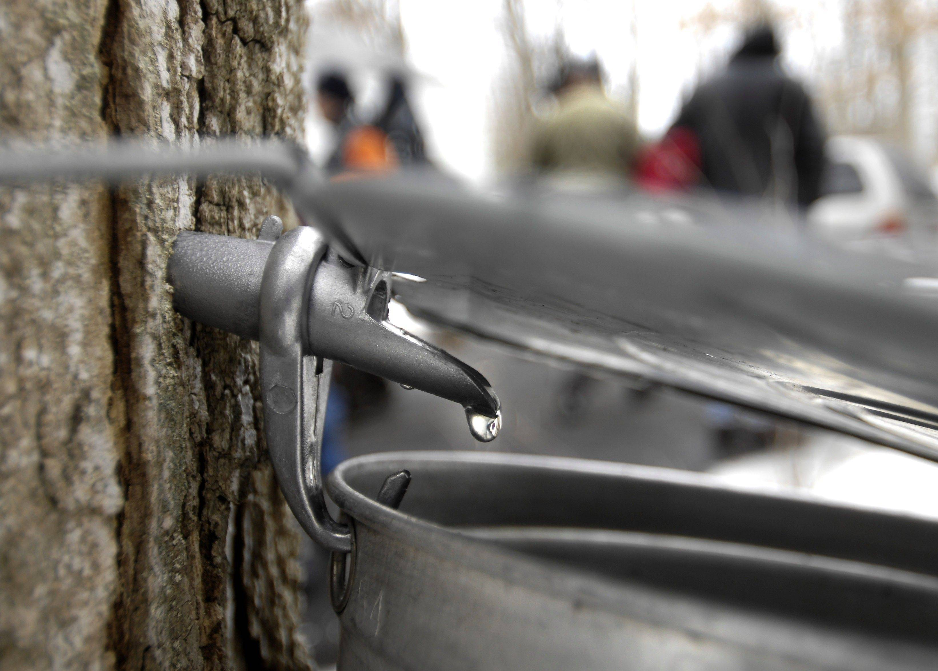 A drop of pure maple sap hangs on a tap at the Tekakwitha Woods Forest Preserve in St. Charles.